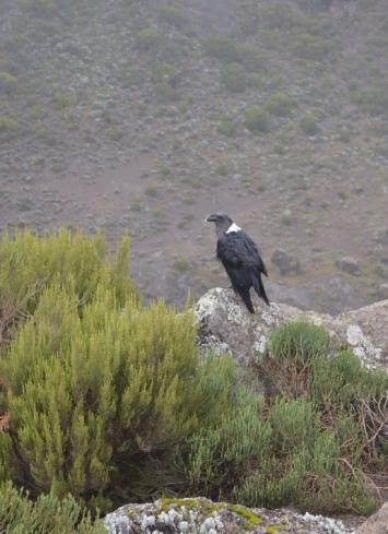 White necked Raven.