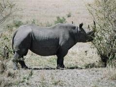 En ovanlig syn - Noshörningen.