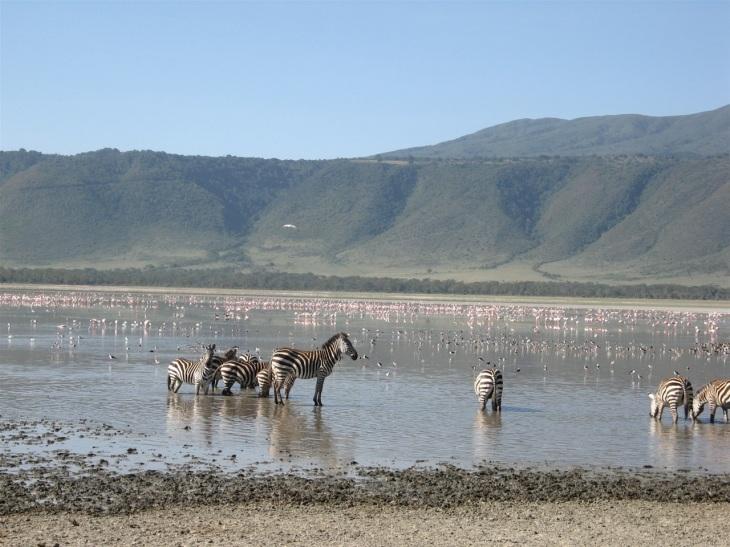 Zebror och flamingos