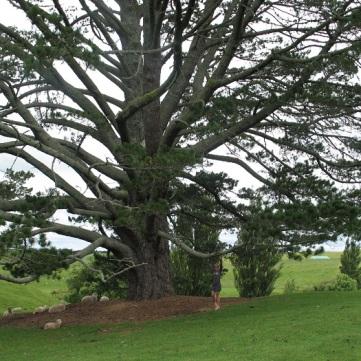 NZ Hobbiton träd
