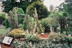 Kaktusar i massor