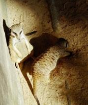 27. Meercats