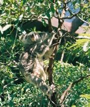 33. Koala