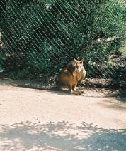 36. Känguru